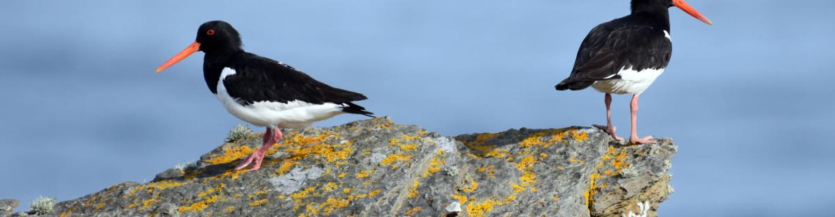 2 huitrers-pie sur un rocher, sur fond de mer
